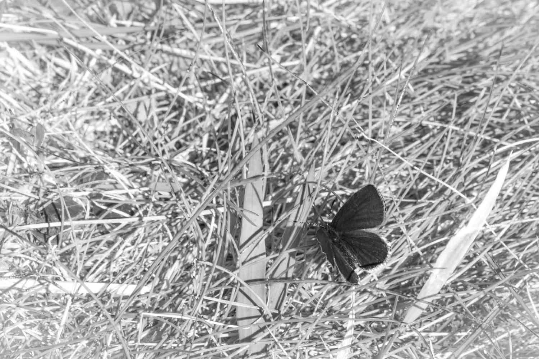 Fjäril vid Oxsjön