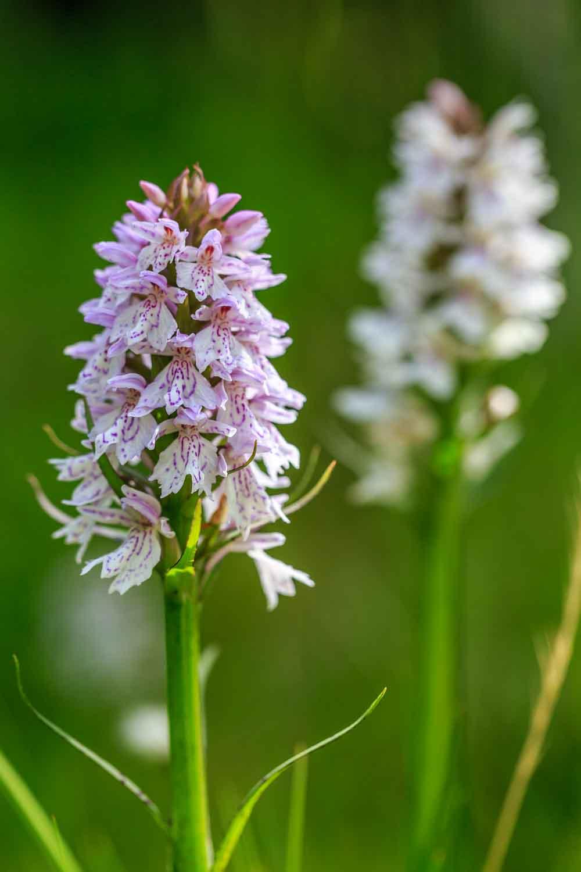 Orkideer vid Fallmoran